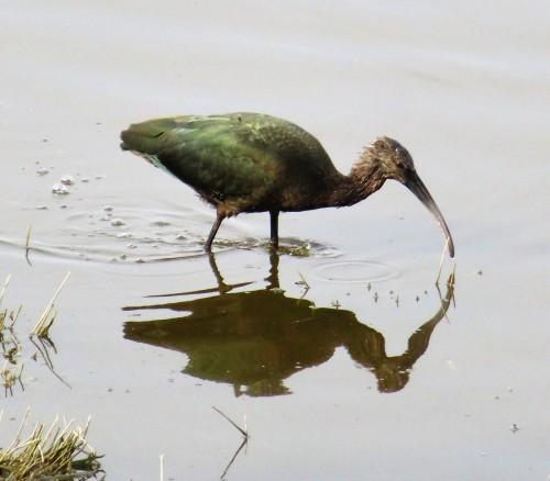 ibis dip