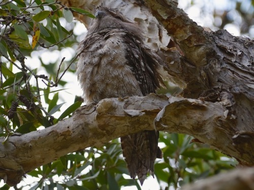 Tawny Frogmouth Male RR01