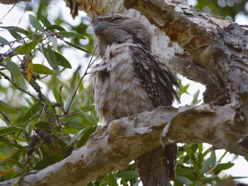 Tawny Frogmouth Male RR02