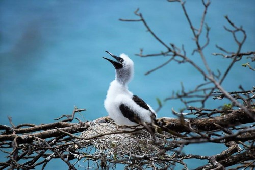 Fuzzy Red-Footted Booby Baby