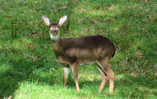 deers ears