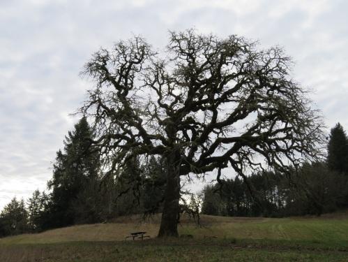 gr8 oak