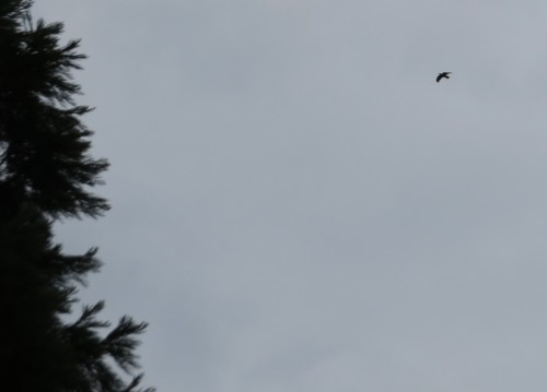 raven over