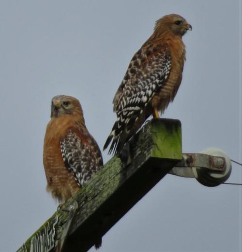HNSUM Hawks5