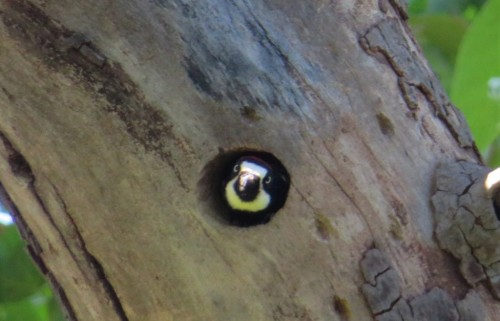 Acrn hole3