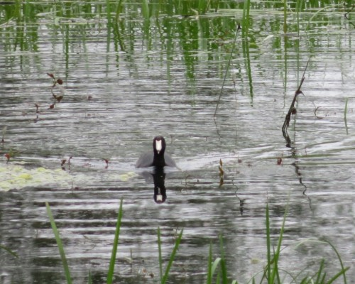 COOT MALE