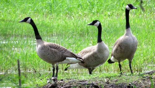 GOOSE GUARDS