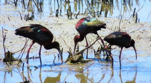 ibis aglow