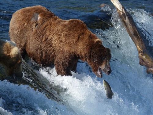 Katmai grizzly