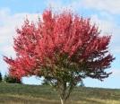 autumn scrlet