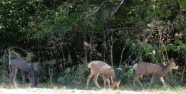 deeer trio
