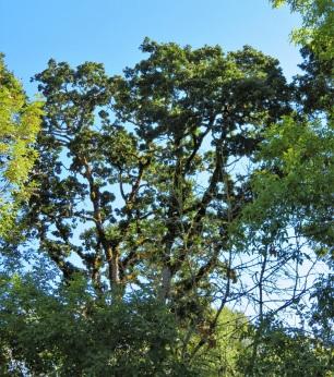 oak sky