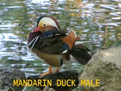 MANDUCK MALE