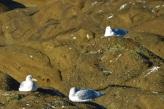boilr gulls