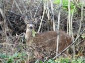 deer-b