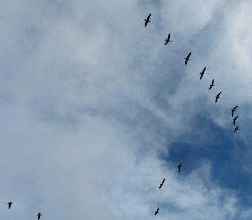 goose blue