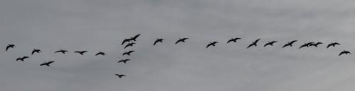 goose gray