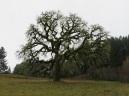 cbc oak