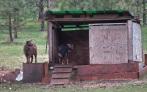 goats abov