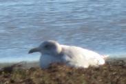 pale gull