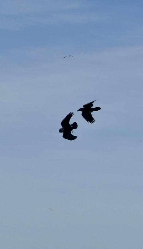 ravens at funston