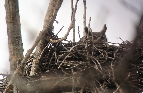 GHO 1st day on nest