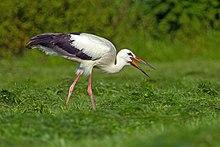 White_Stork