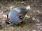 gam quail