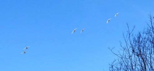 SWANS INCOMING3 (2)