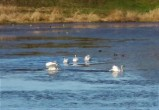 SWANS ON WATER (3)