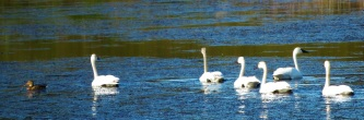 SWANS ON WATER3 (2)