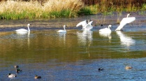 SWANS ON WATER5 (2)