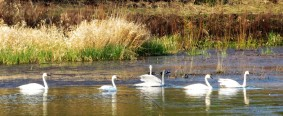 SWANS ON WATER6 (2)