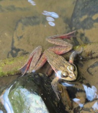 frog in creek (2)
