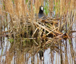 coot-nest (2)