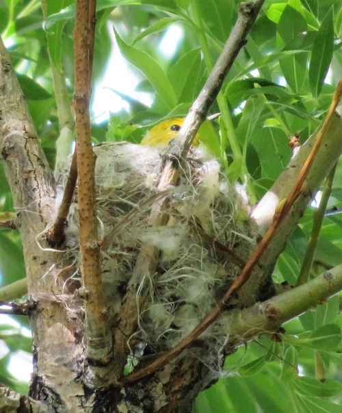 yewa nest (2)