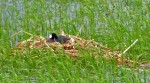 coot nest (2)