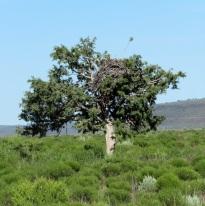 ferru tree (2)