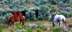 horses-wild