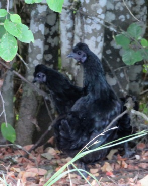 chicks-blk (2)