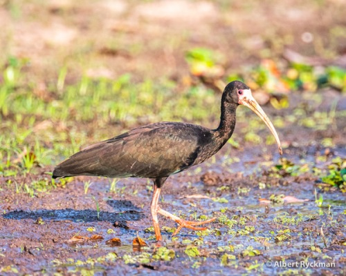 BARE FACED IBIS