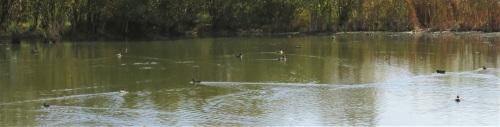 duck pond (2)
