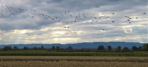 goose in4 (2)