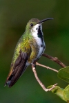 Green-breasted Mango-female date and place uncertainR