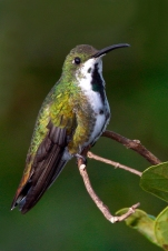 Green-breasted Mango-female date and place uncertain R