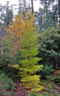 larch autumn