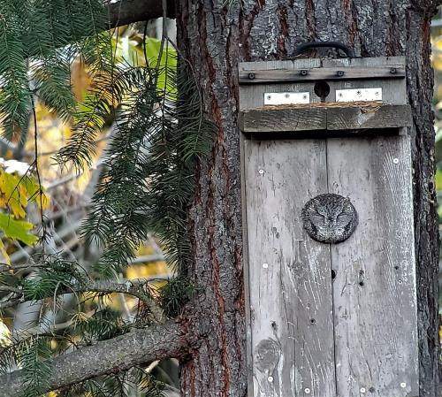 Screech Owl 10-28-19