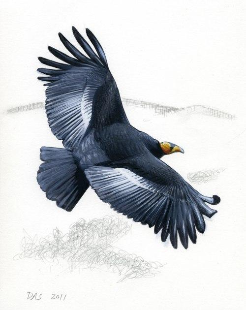 condor--sibley