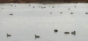 cov ducks (2)