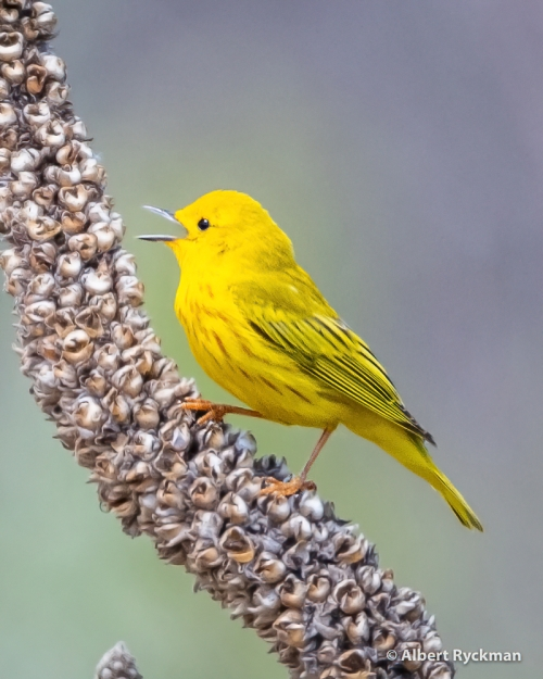 YELLOW WARBLER-sharpen-sharpen